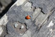 Ladybird exploring near Alva House