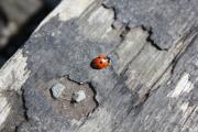 Ladybird exploring near Alva House