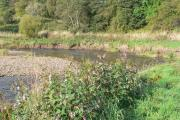 Himalayan Balsam might be pretty but it REALLY damages the banks of the river
